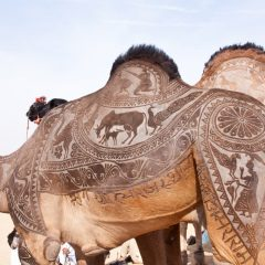 Beautiful Camel Shearing in Bikaner [Photo]
