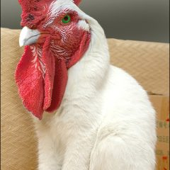 What Happens When A Rooster Crosses The Cat [Photo]