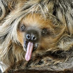 Baby Sloth Cops A 'Tude [Photo]