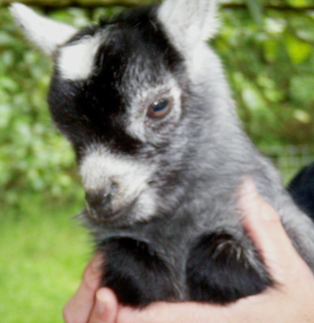 Baby Pygmy Goat Giddy With Happiness [Video]