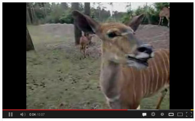 Antelope Is Dumbfounded. [Video]