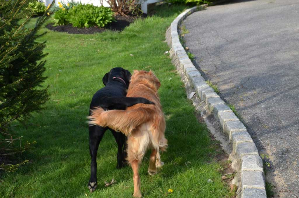 Canine equivalent of walking arm in arm