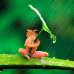 Tree Frog Uses Leaf As An Umbrella. [Photo]