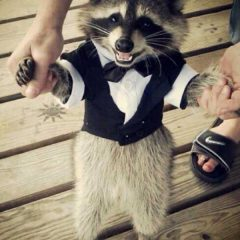 Raccoon Looking Quite Sharp. [Photo]