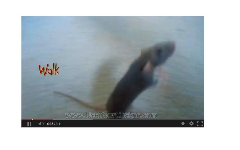 Amazing Rat Tricks. [Video]