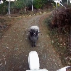 Ram Attacking Dirt Bike